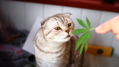 Photo of What Is the Correct CBD Oil Dosage for Cats?