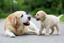 Photo of Are Corgis Good Apartment Dogs?