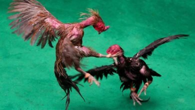 Photo of Cockfights in Thailand where Death is Rare