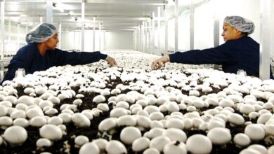 Photo of Mushroom Farming: How to Start with It?